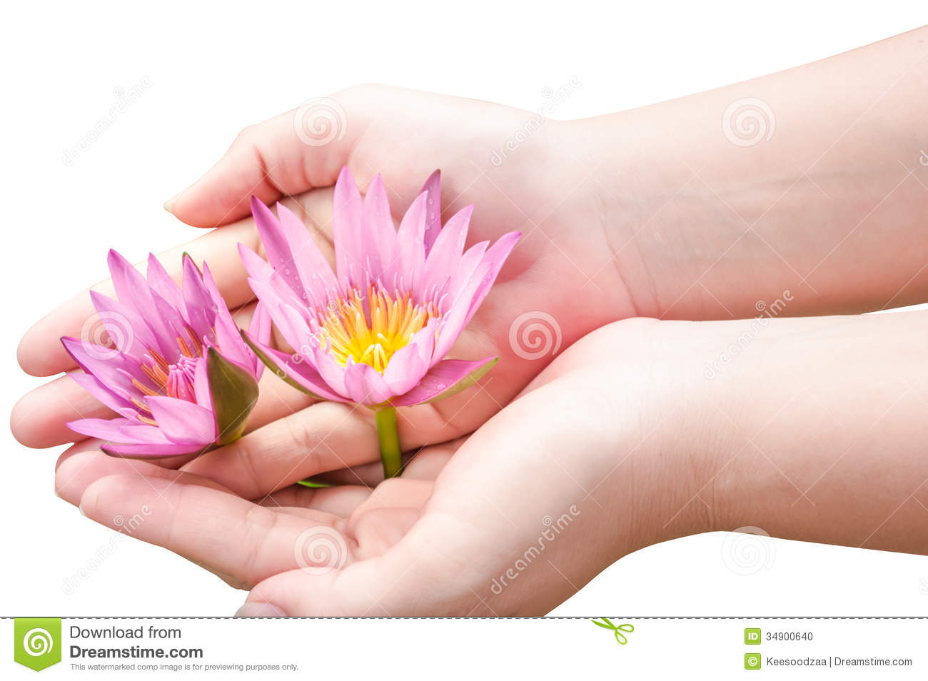 Lotus Flowers On Hand Stock Photo Image Of Charming 34900640