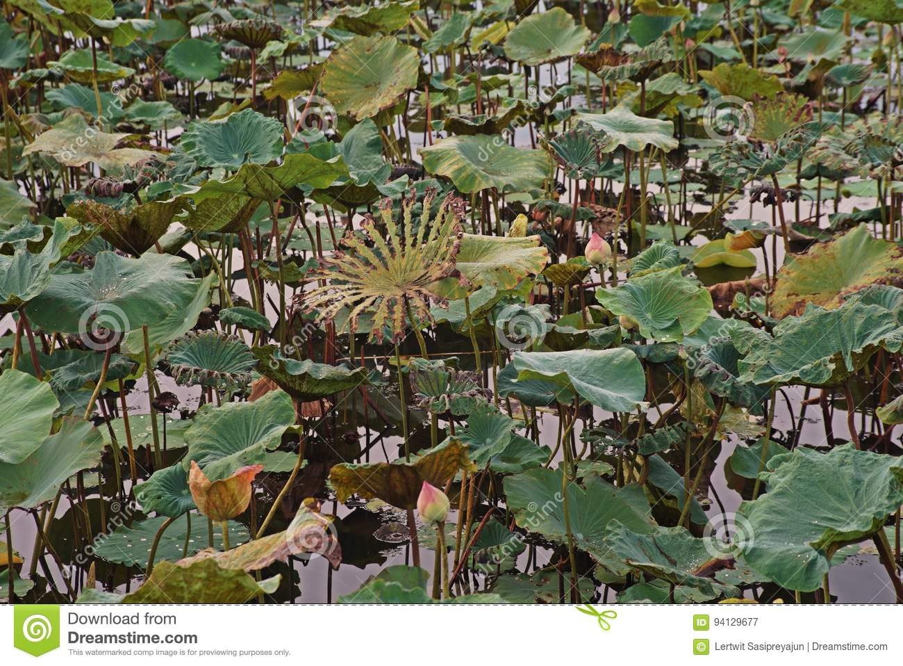 Lotus Flowers,leaf Damage From Worm Stock Image - Image of natural ...
