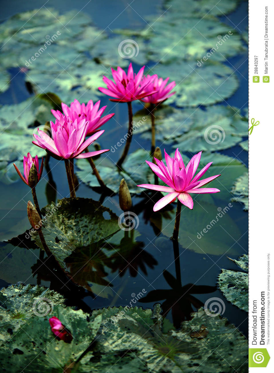 lotus flowers and lily pads royalty free stock photography