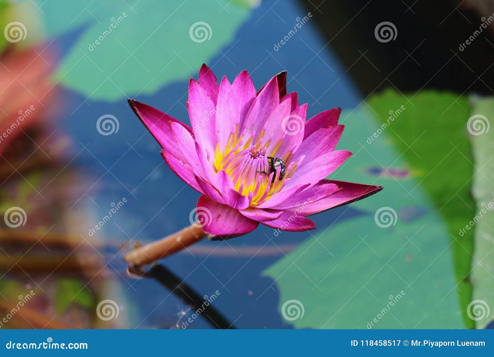 Lotus Flowers Stock Image Image Of Closeup Lily Lotus 118458517