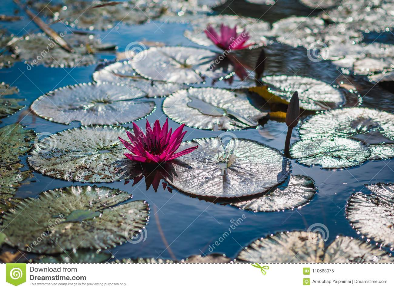 Lotus flowers in on the water with sunlight stock image image of lotus flowers pink color in on the water with sunlight izmirmasajfo