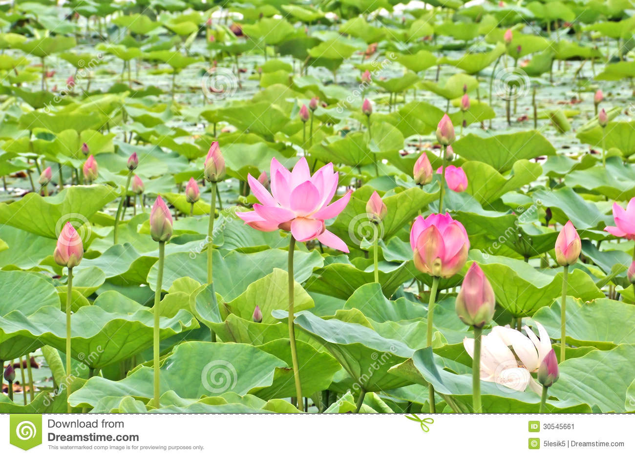 Lotus Flowers In A Pond Stock Image Image Of Water Pond 30545661
