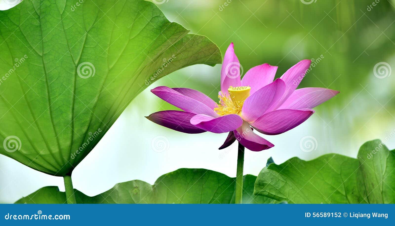 Lotus Flowers Stock Photo - Image: 56589152