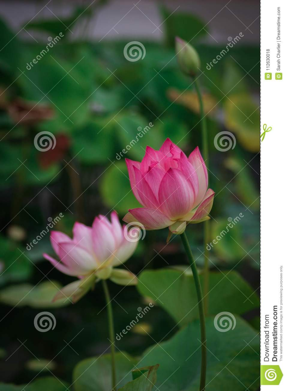 Lotus Flowers Symbolizing Growth And New Beginnings Stock Photo