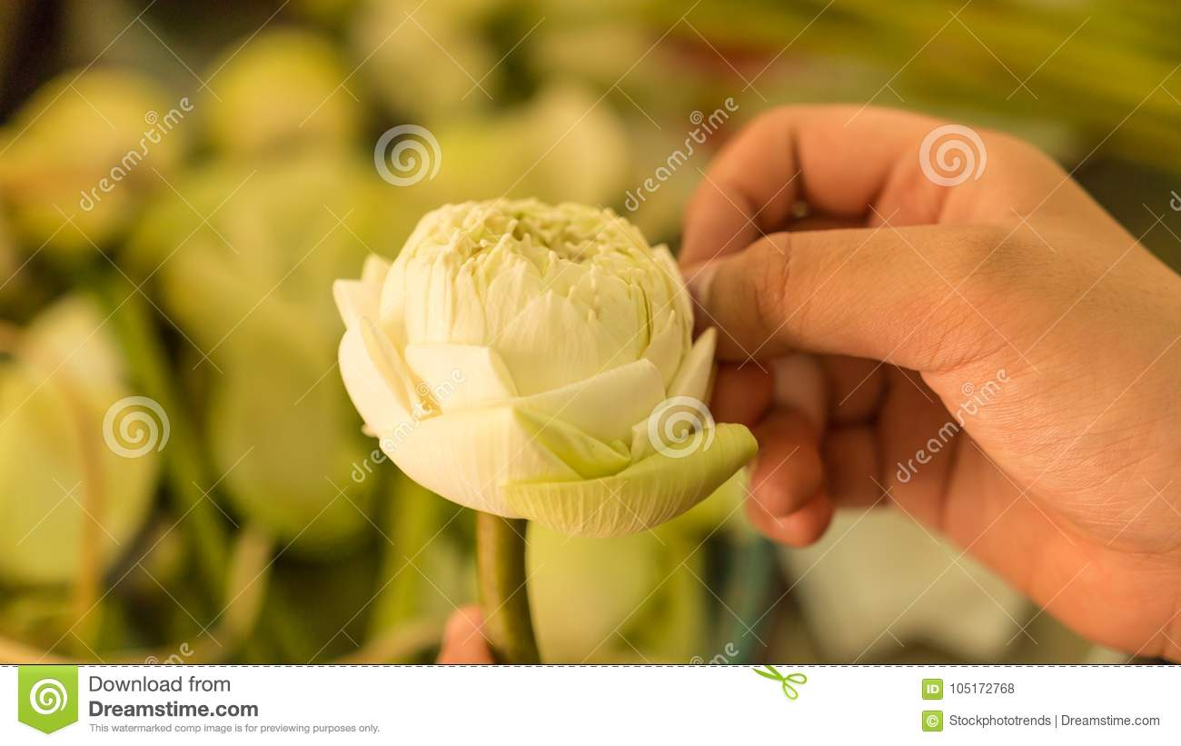 Lotus Flowers White Lotus Flowers In Woman Hands Stock Photo