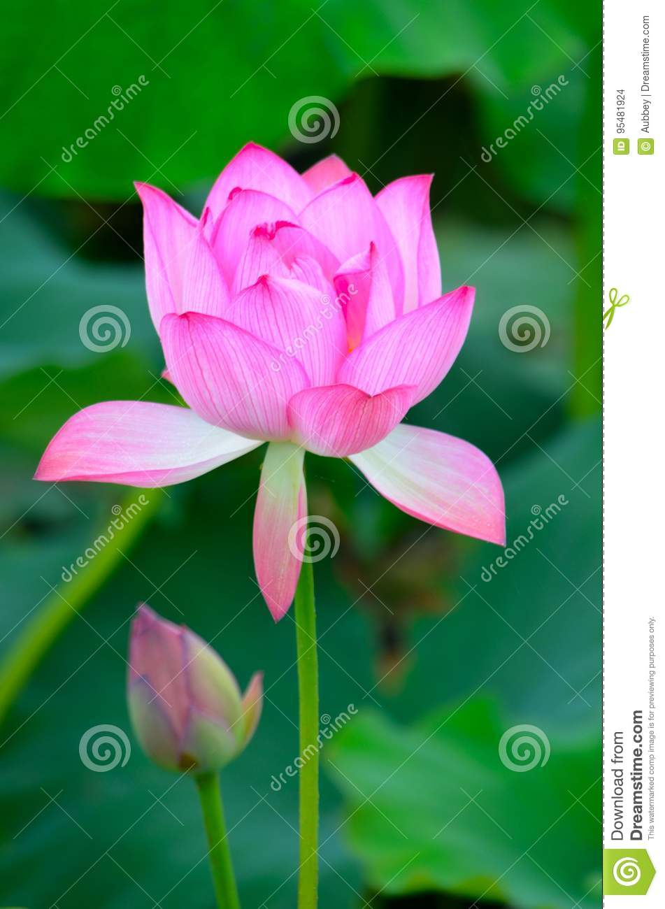 A lotus in full bloom stock photo image of asia companionship a lotus in full bloom izmirmasajfo
