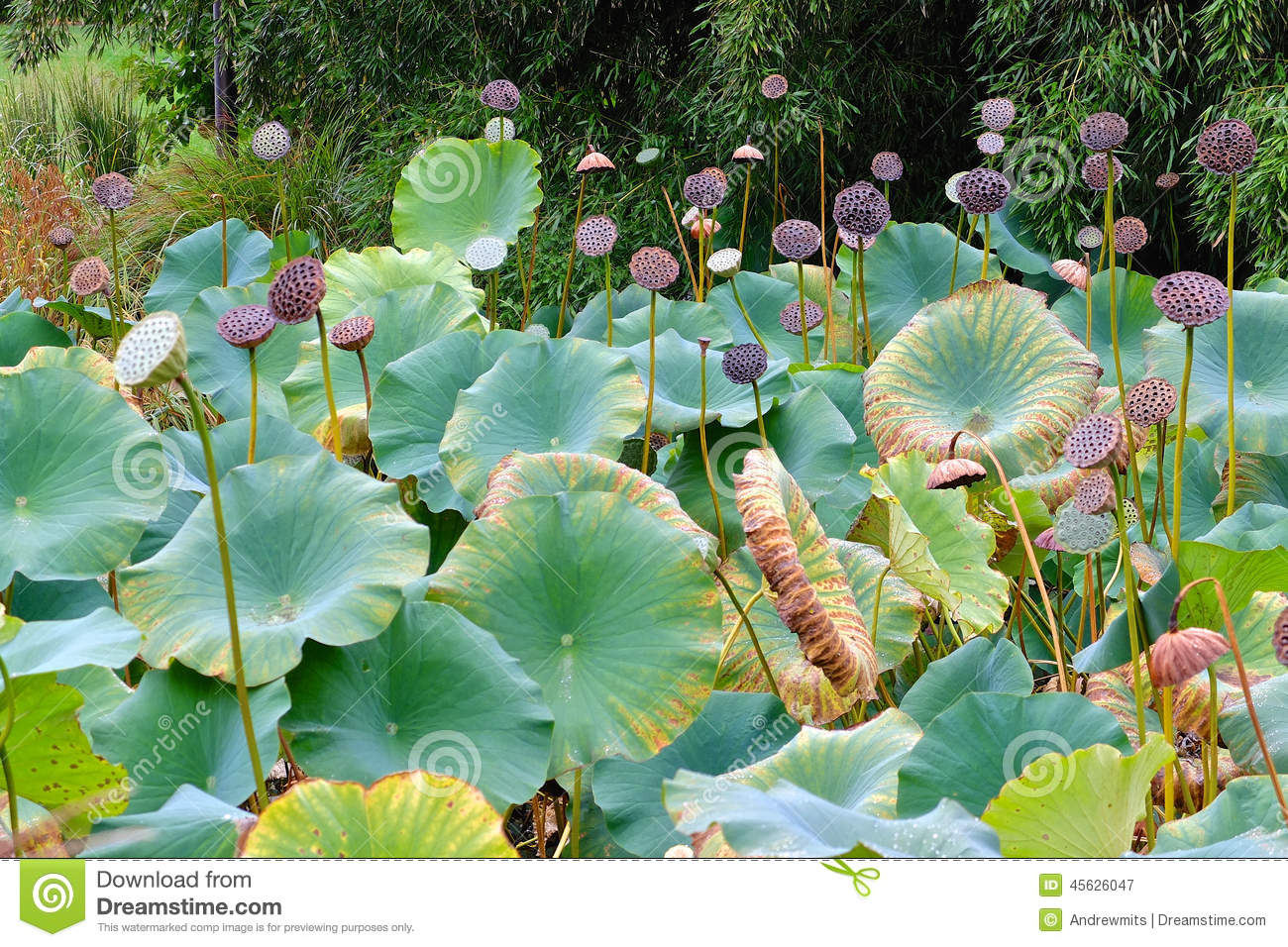Lotus garden pond stock photo image 45626047 for Large pond plants