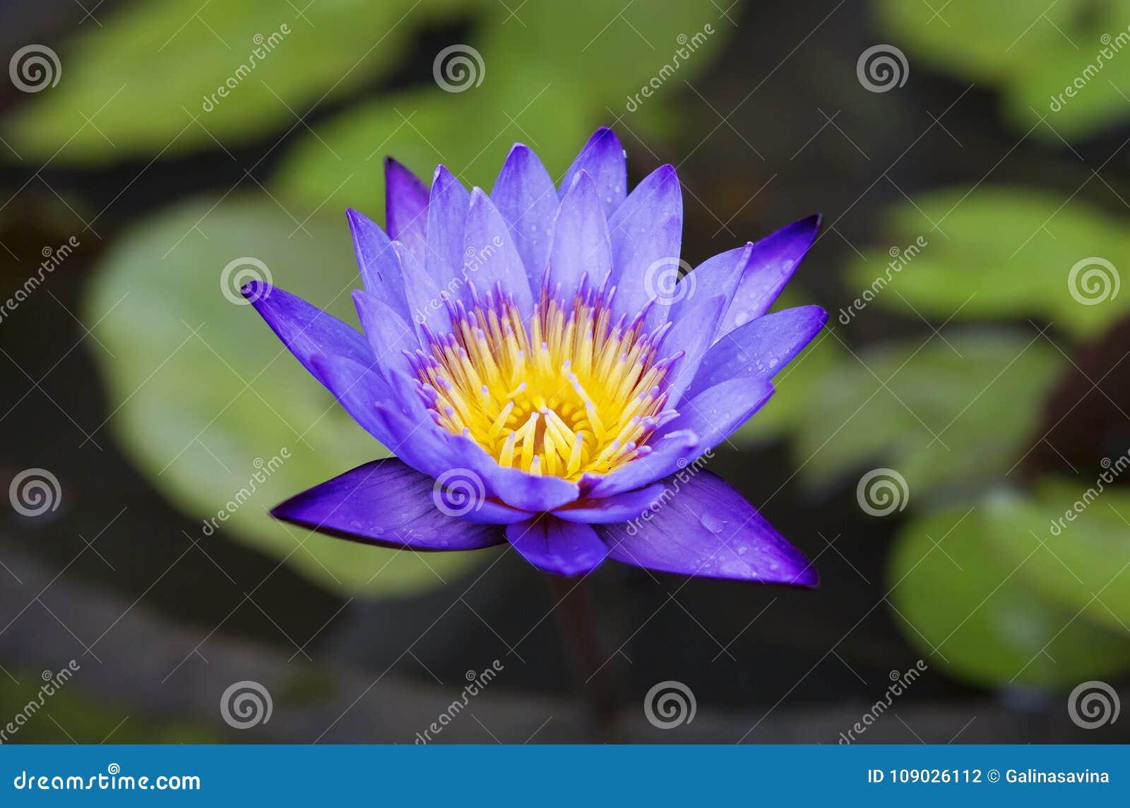 Flower Lotus Stock Photo Image Of Indonesia Leaves 109026112
