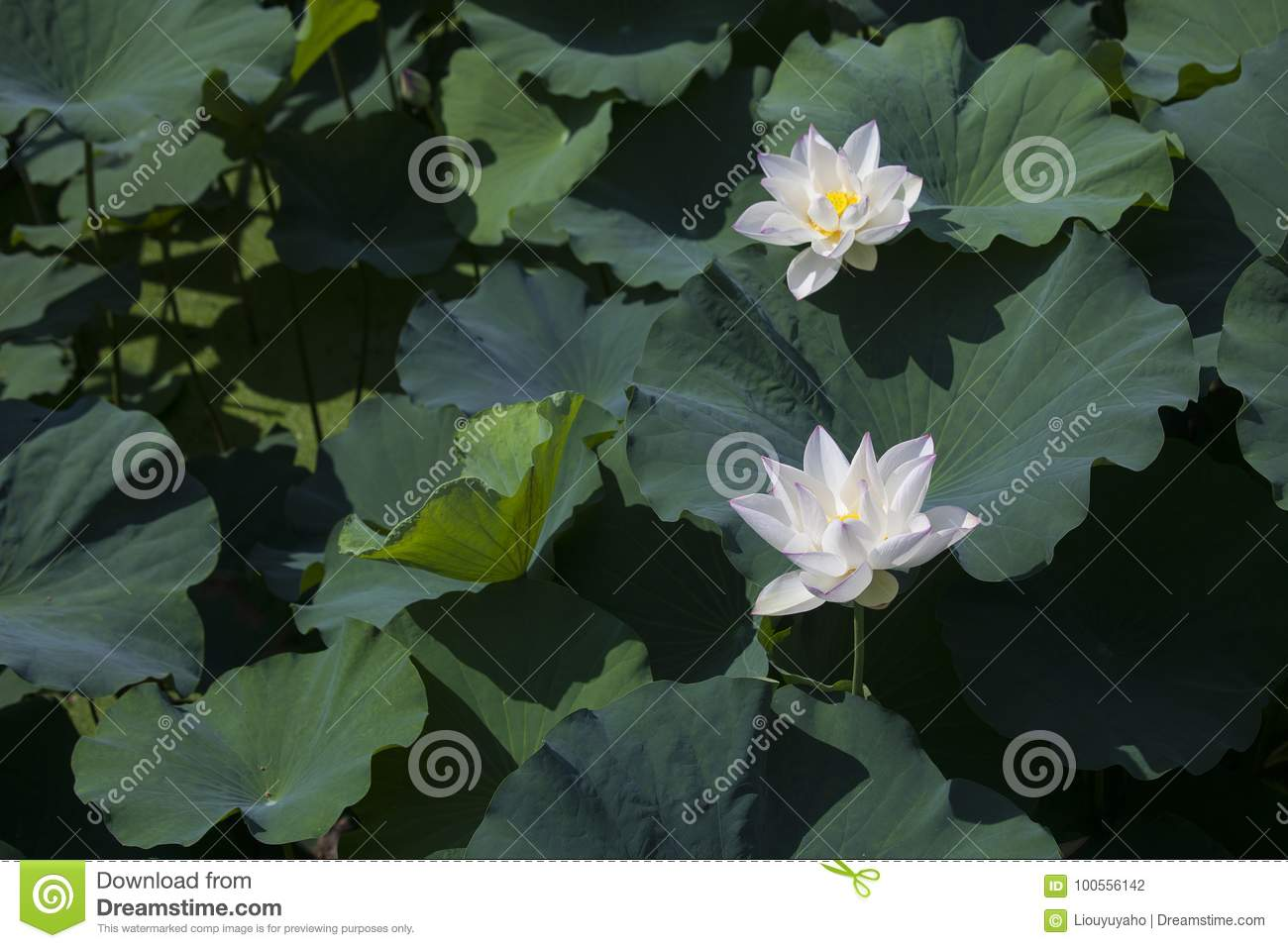 Lotus stock photo image of love high chinese often 100556142 lotus has holy significance in china it represents the gentleman and the noble character and it is also one of the themes of chinese painting izmirmasajfo