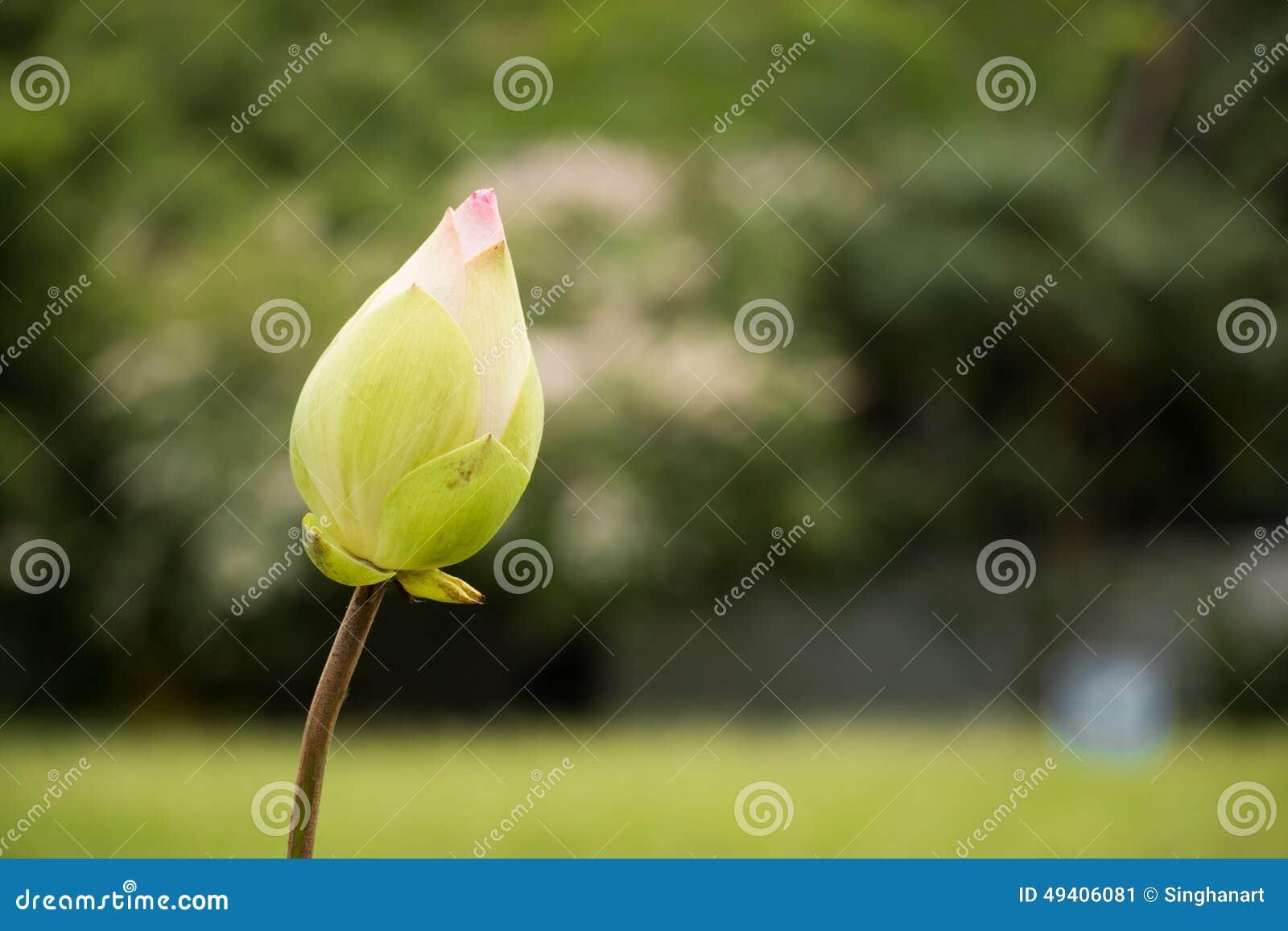 Download Lotus In Heraus Fokussieren Hintergrund Stockbild - Bild von umgebung, liebe: 49406081