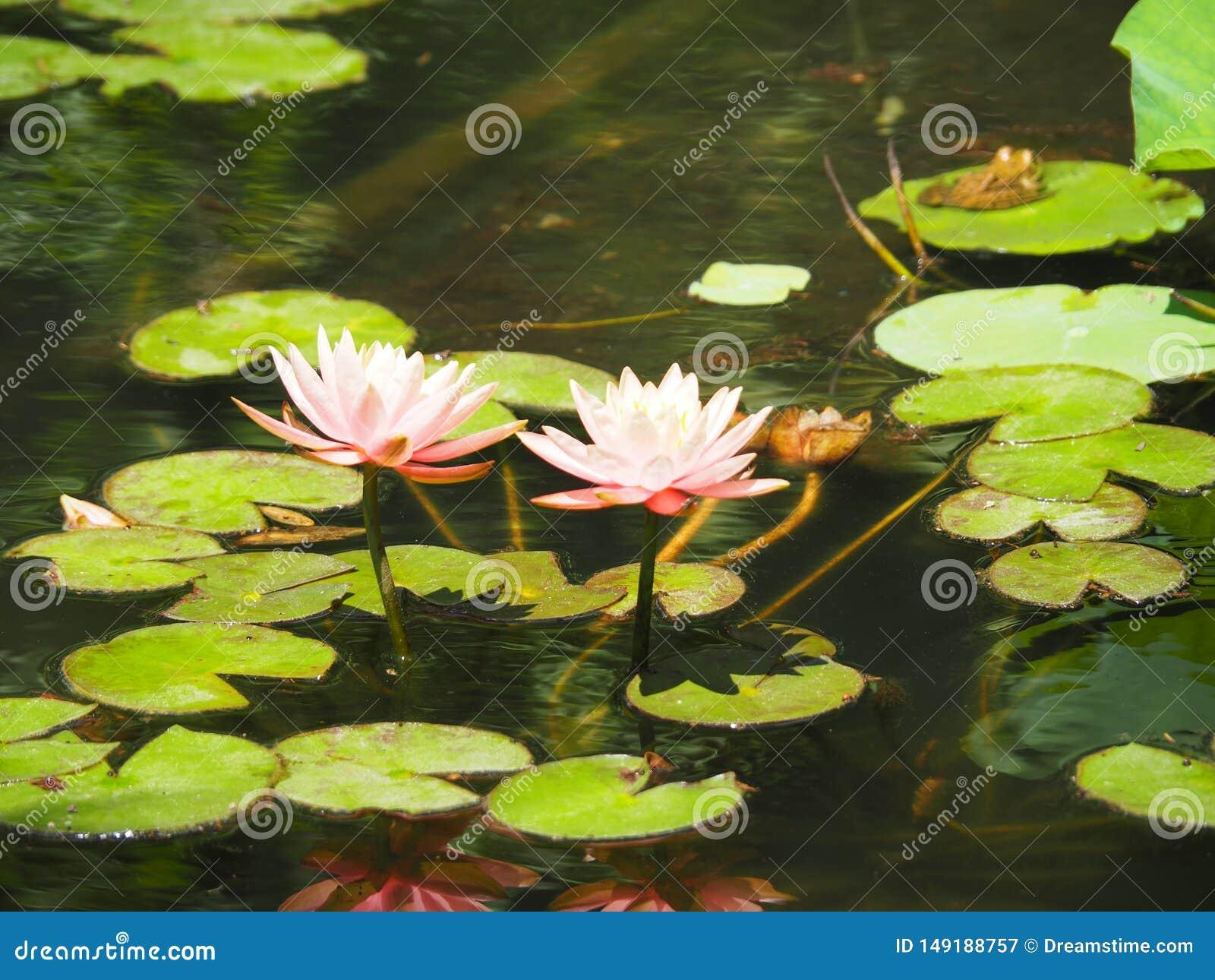 Lotus in het zonlicht