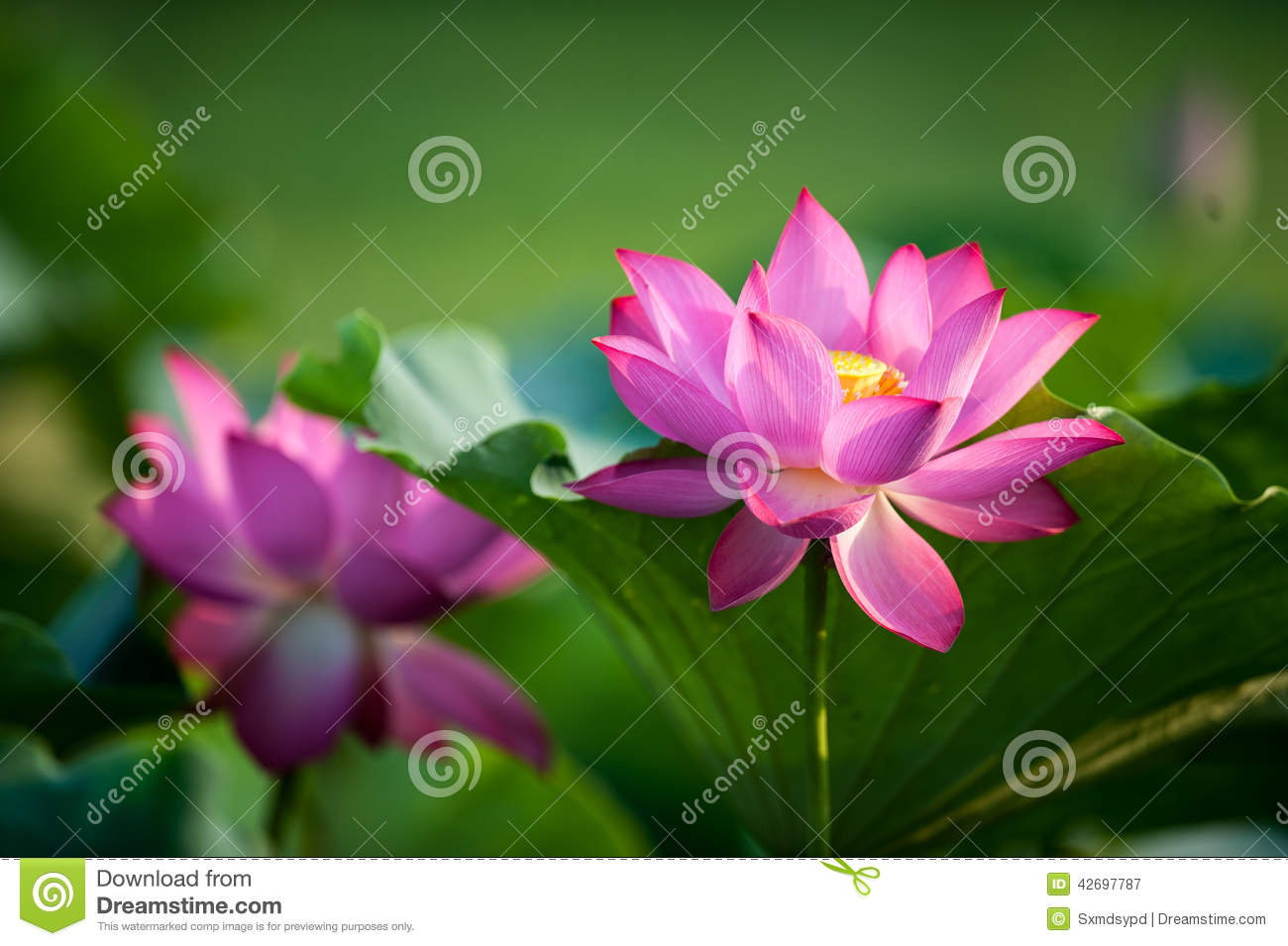 Lotus stock image image of life close lotus other 42697787 kaifeng kaifeng summer lotus pond and more fragrant smell summer around the unstained lotus attracted a crowd of joyous spirit izmirmasajfo