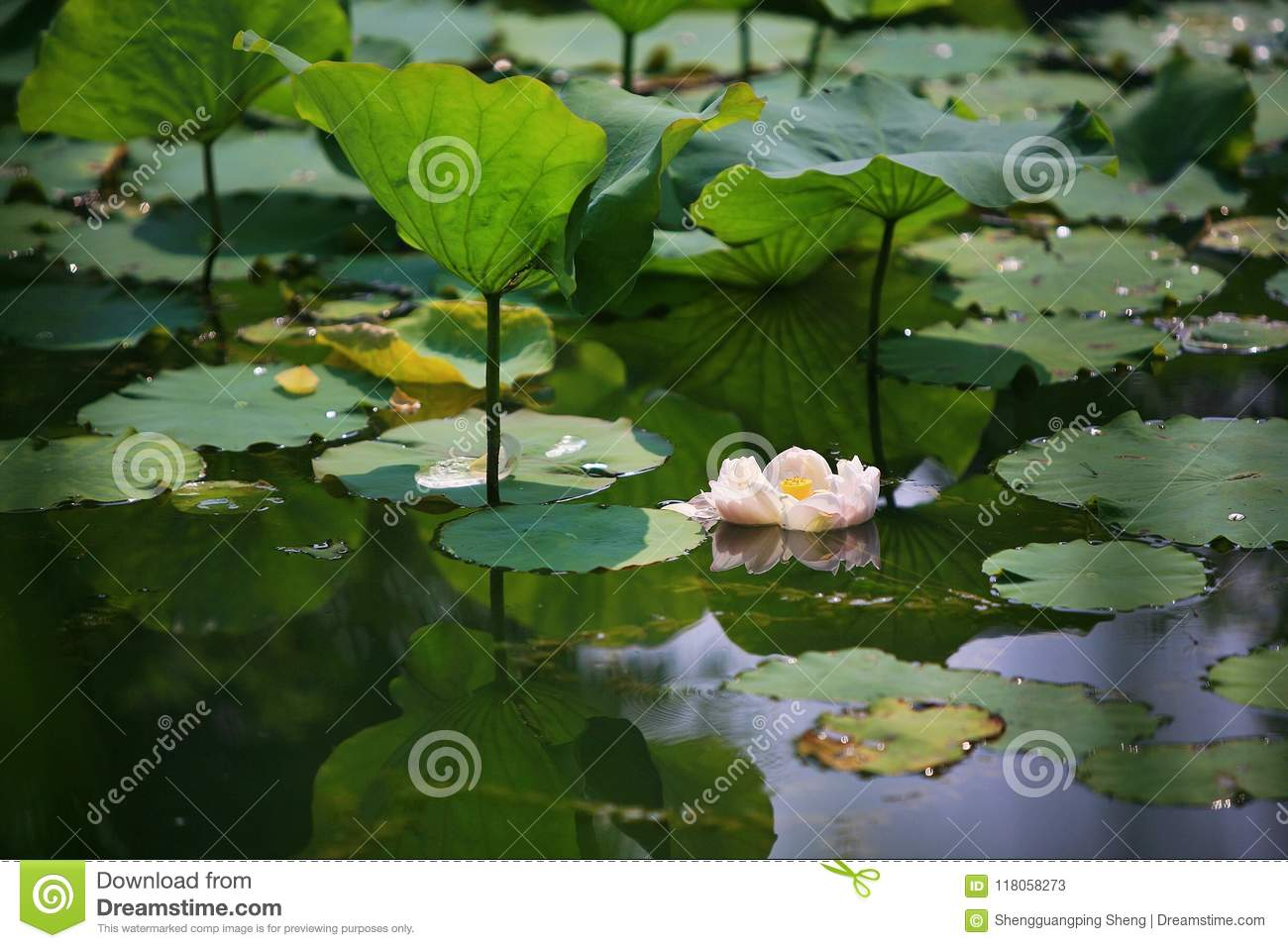 Charge stock image image of plant habitat cultivation 118058273 lotus is a kind of water seedling cultivation business lotus is also known as lotus flower and water lotus lotus is a kind of aquatic plant mightylinksfo