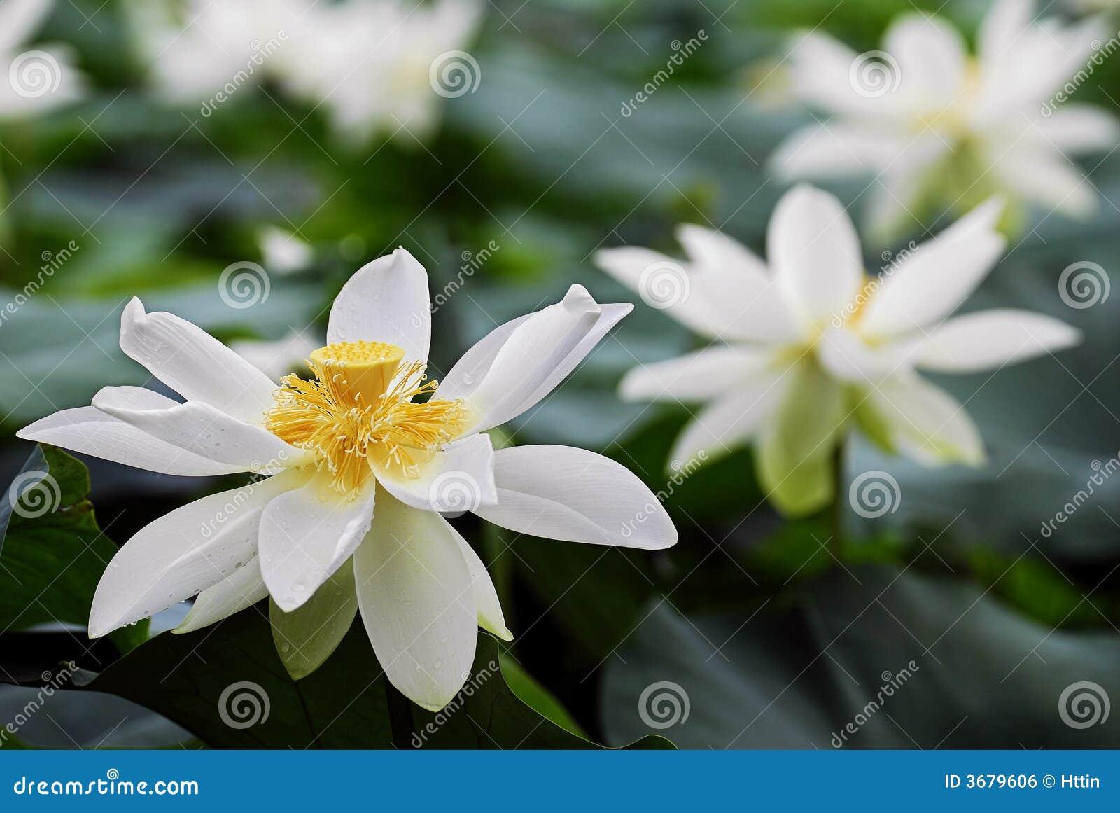 Lotus kwiatów white