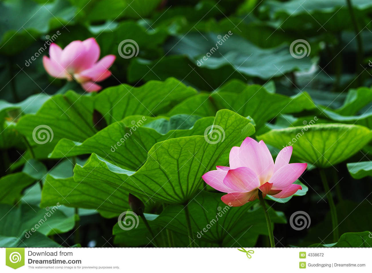 Lotus and leaf stock photo image of bloom china smell 4338672 lotus and leaf izmirmasajfo