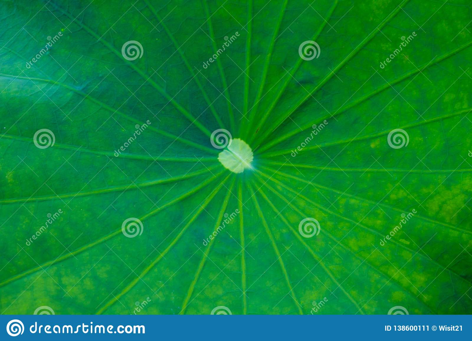 Lotus Leaf Background verde