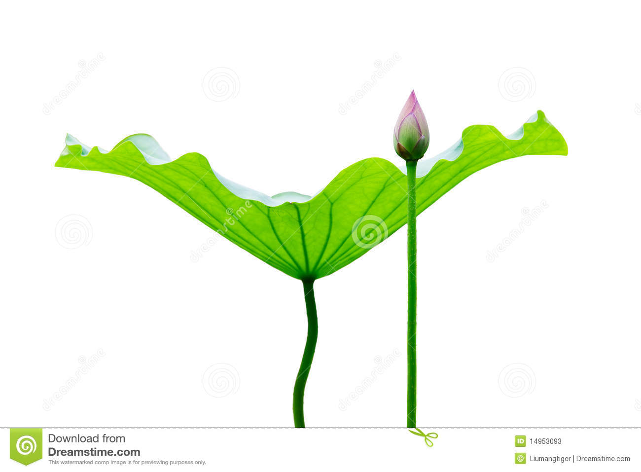 The lotus leaf and bud in white background. Can be used in design ...