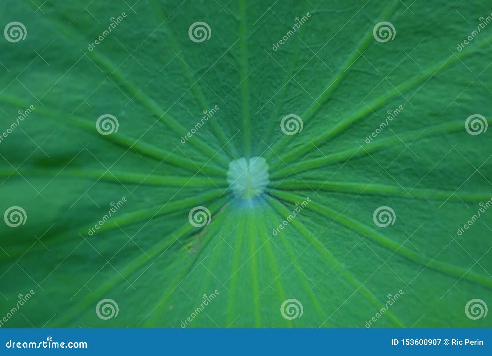 Lotus Leaf Close Up sagrado