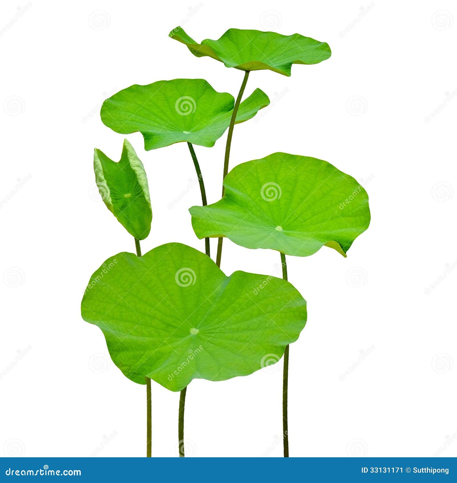 Lotus Leaf Stock Image Image Of Foliage Lotus Abstract