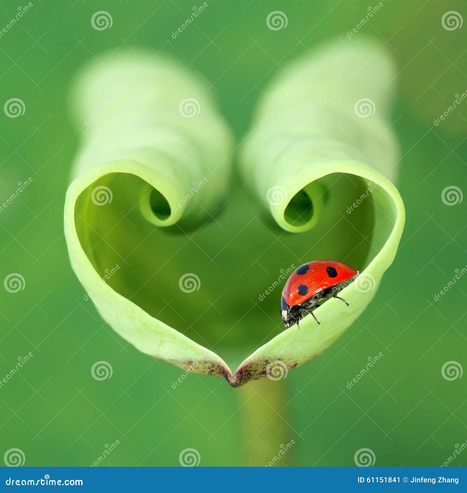 Lotus leaf and ladybug