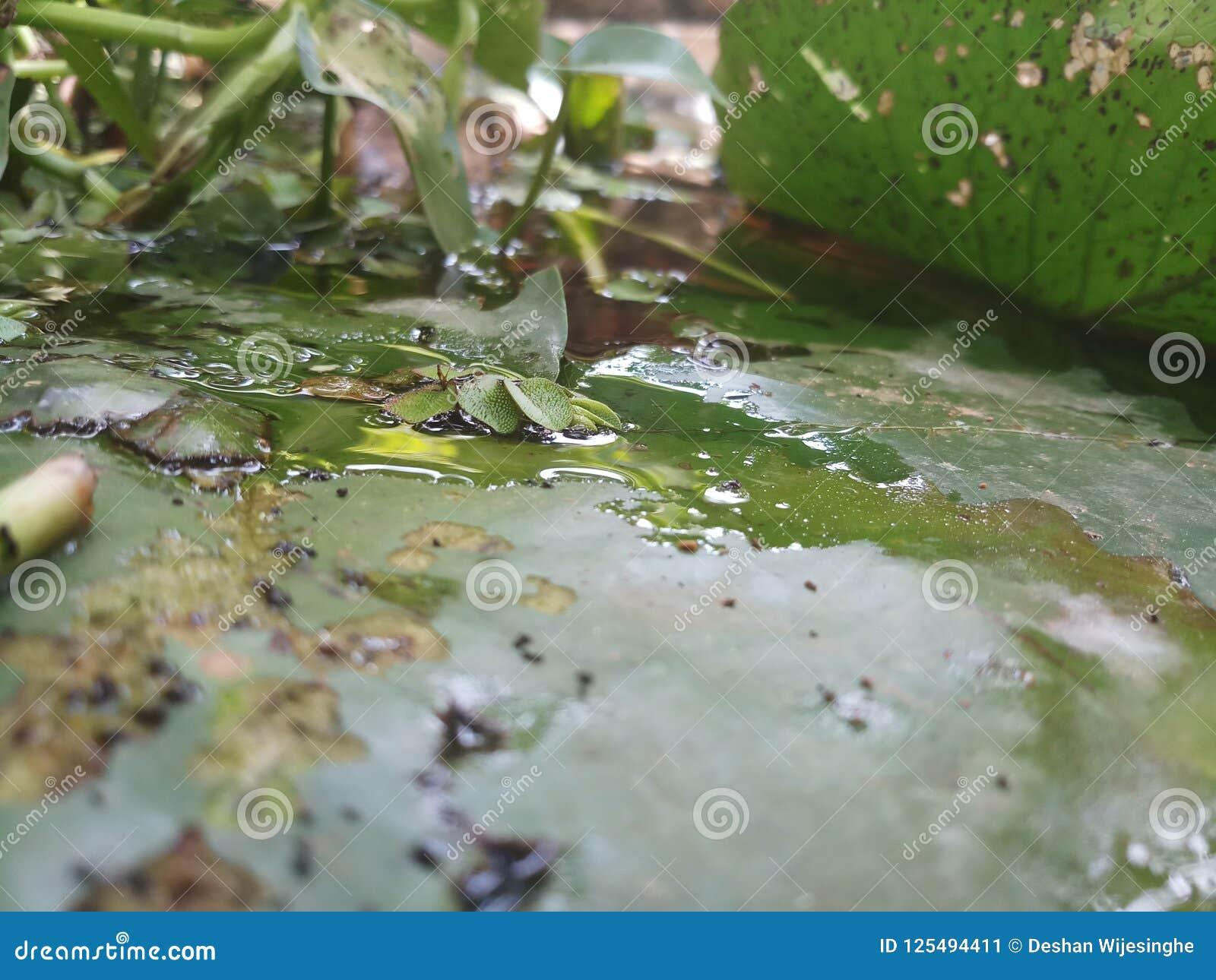 Lotus Leaves över vattnet