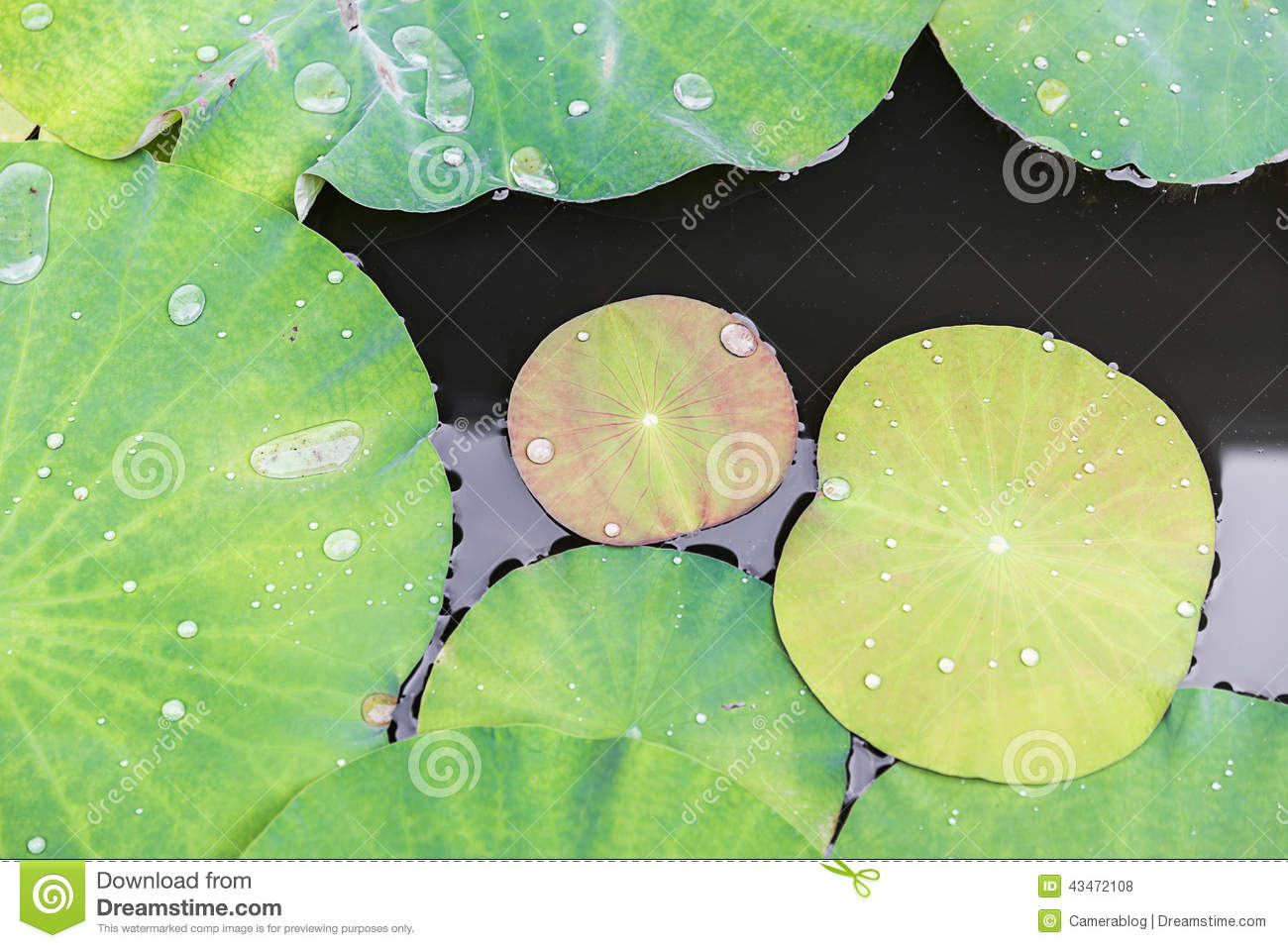 Lotus Leaves Stock Photo Image Of Leavesnbright Green 43472108