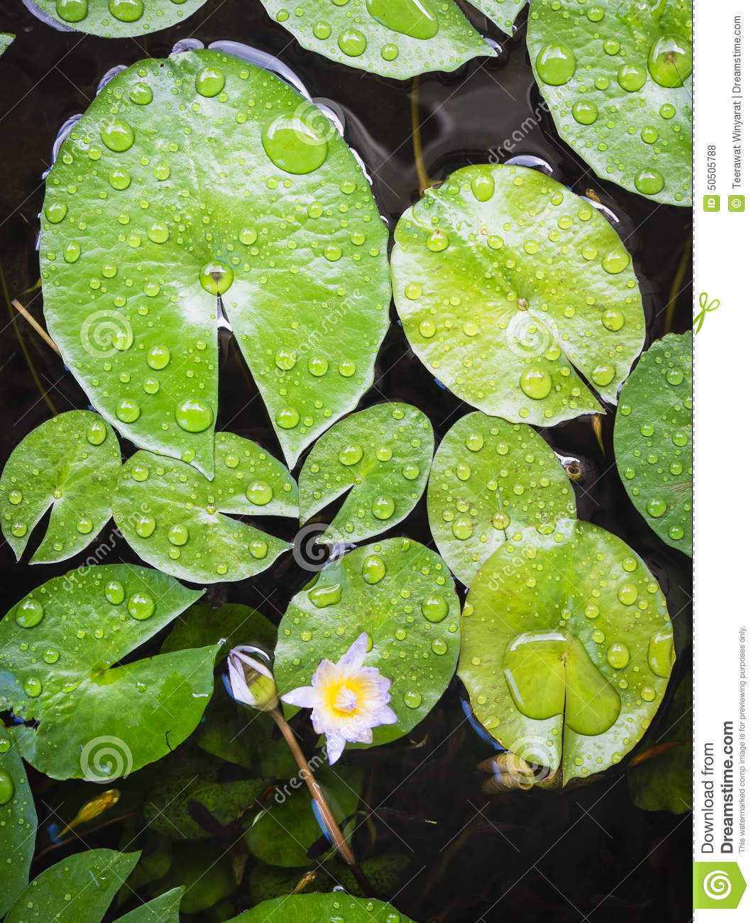 Nature Images 2mb: Lotus Leaves With Drop Of Water Top View Stock Photo