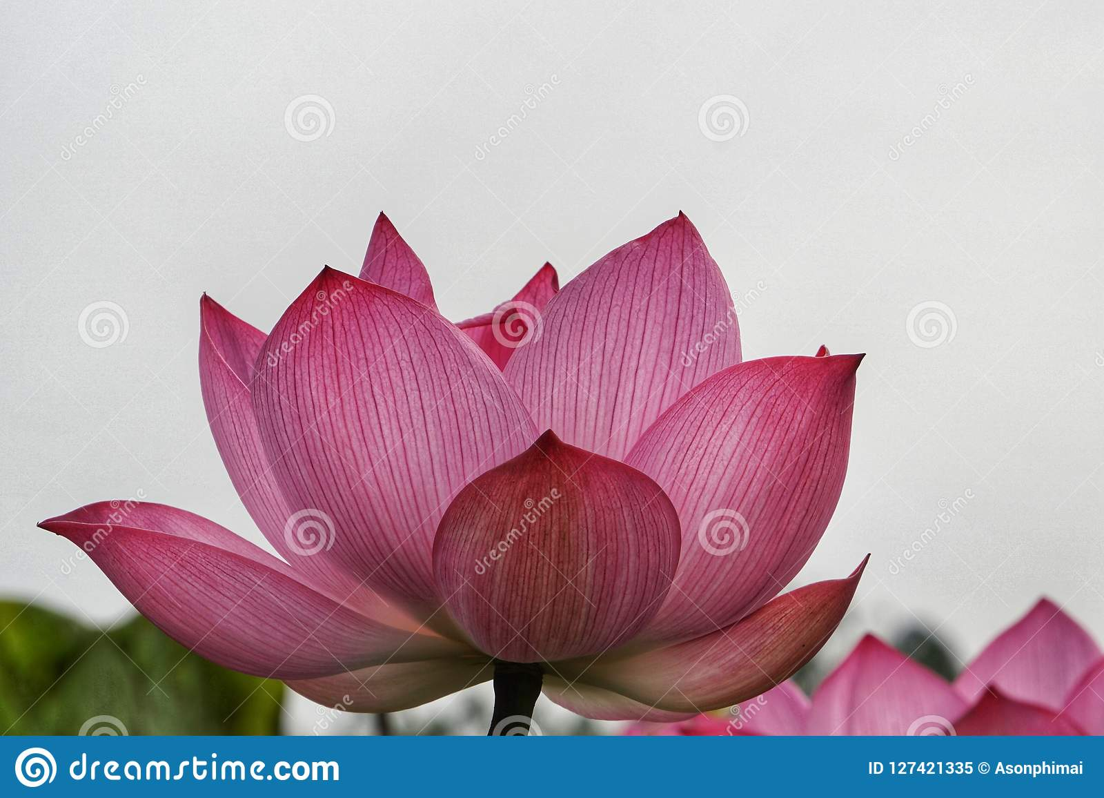 Lotus Or Lily Nelumbo Nucifera Also Known As Indian Lotus Sacred