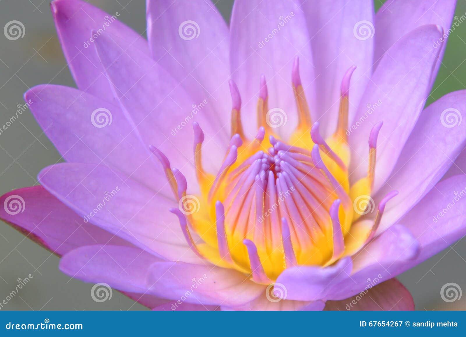 Lotus stock image image of blossom petal flower plant 67654267 download lotus stock image image of blossom petal flower plant 67654267 mightylinksfo