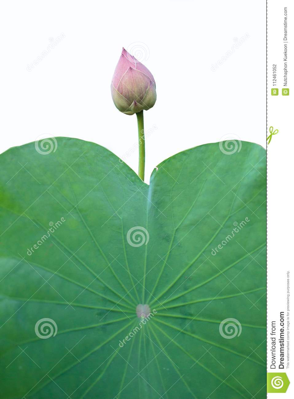 Lotus With The Meaning Of Buddhism Stock Photo Image Of Lagoon
