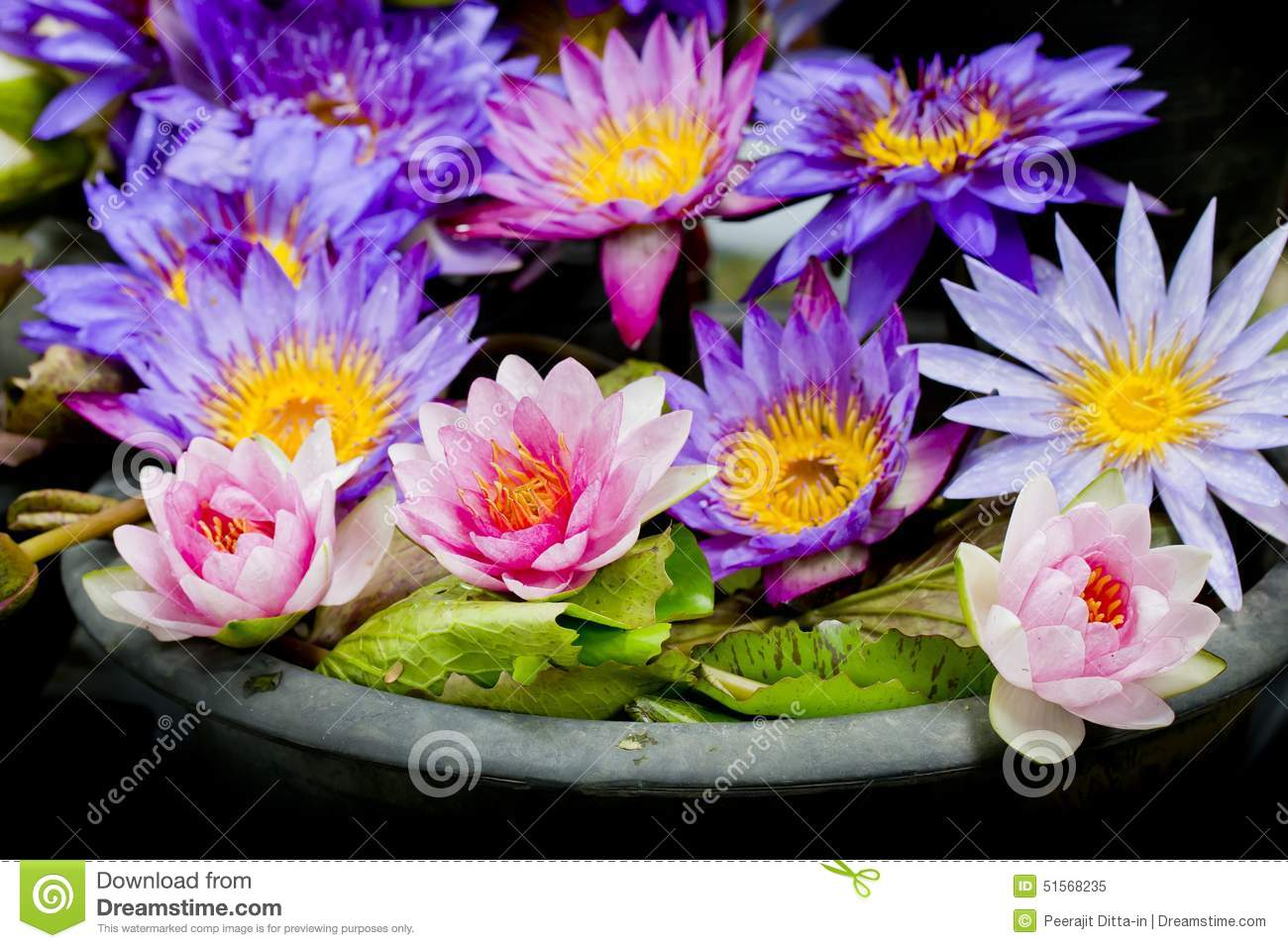 Lotus multicolored many colorful lotus flowers in earthen basin download lotus multicolored many colorful lotus flowers in earthen basin stock image image of mightylinksfo