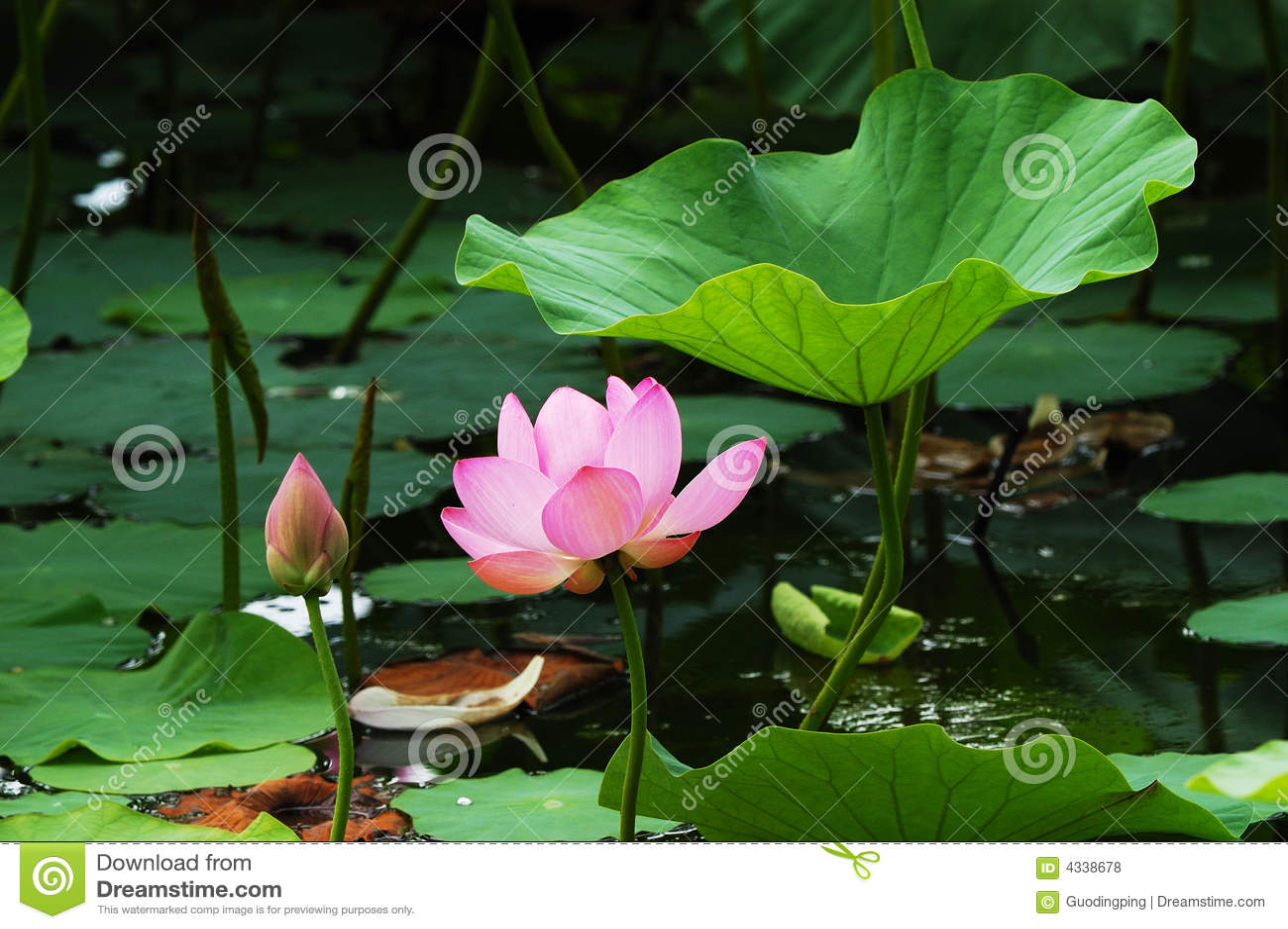 Lotus onder blad