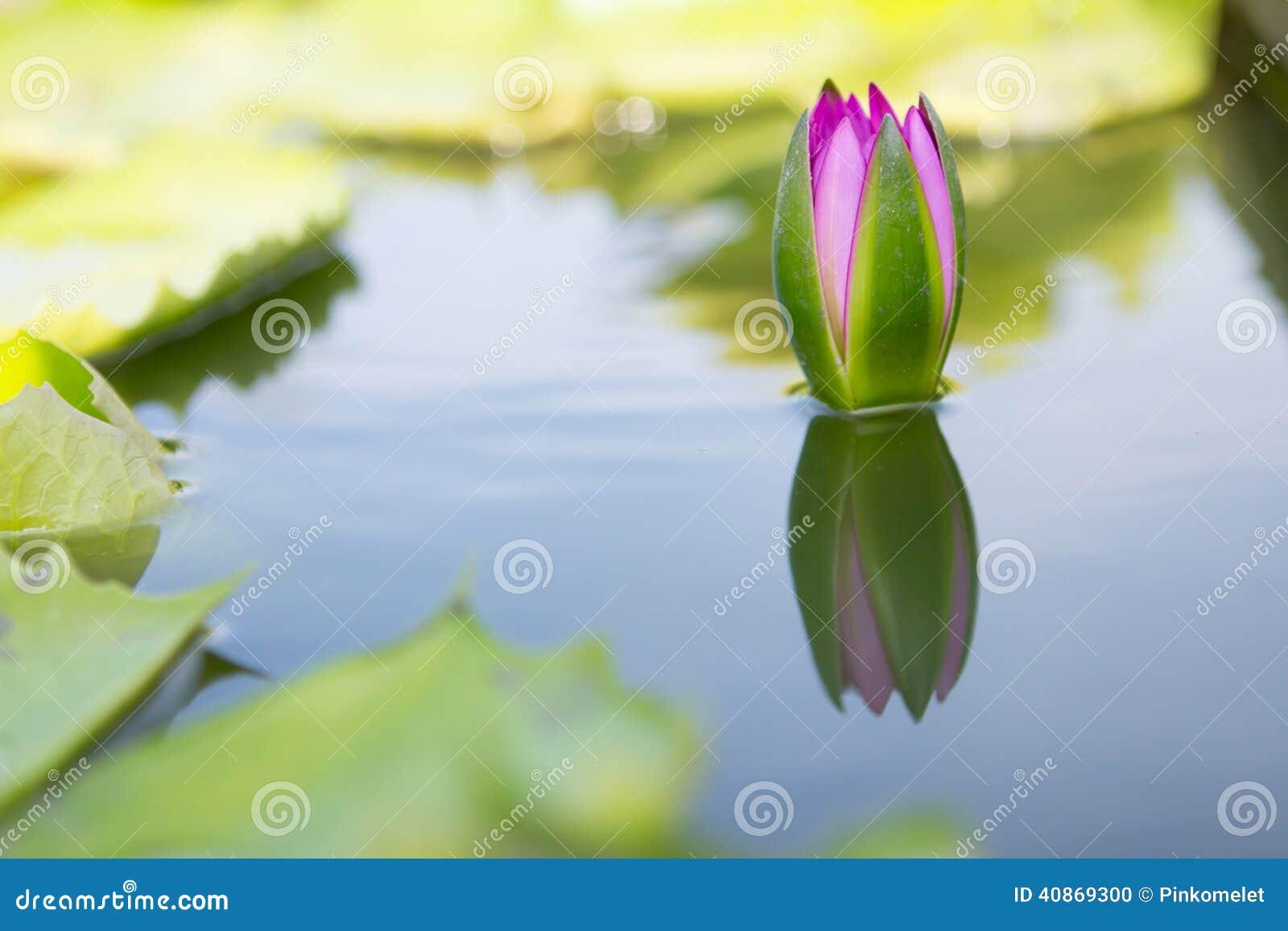 Lotus på vatten