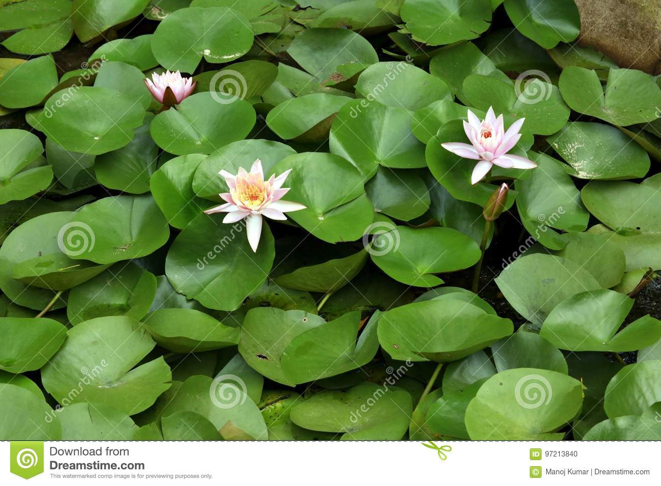 Lotus pink stock photo  Image of agriculture, lily, india - 97213840