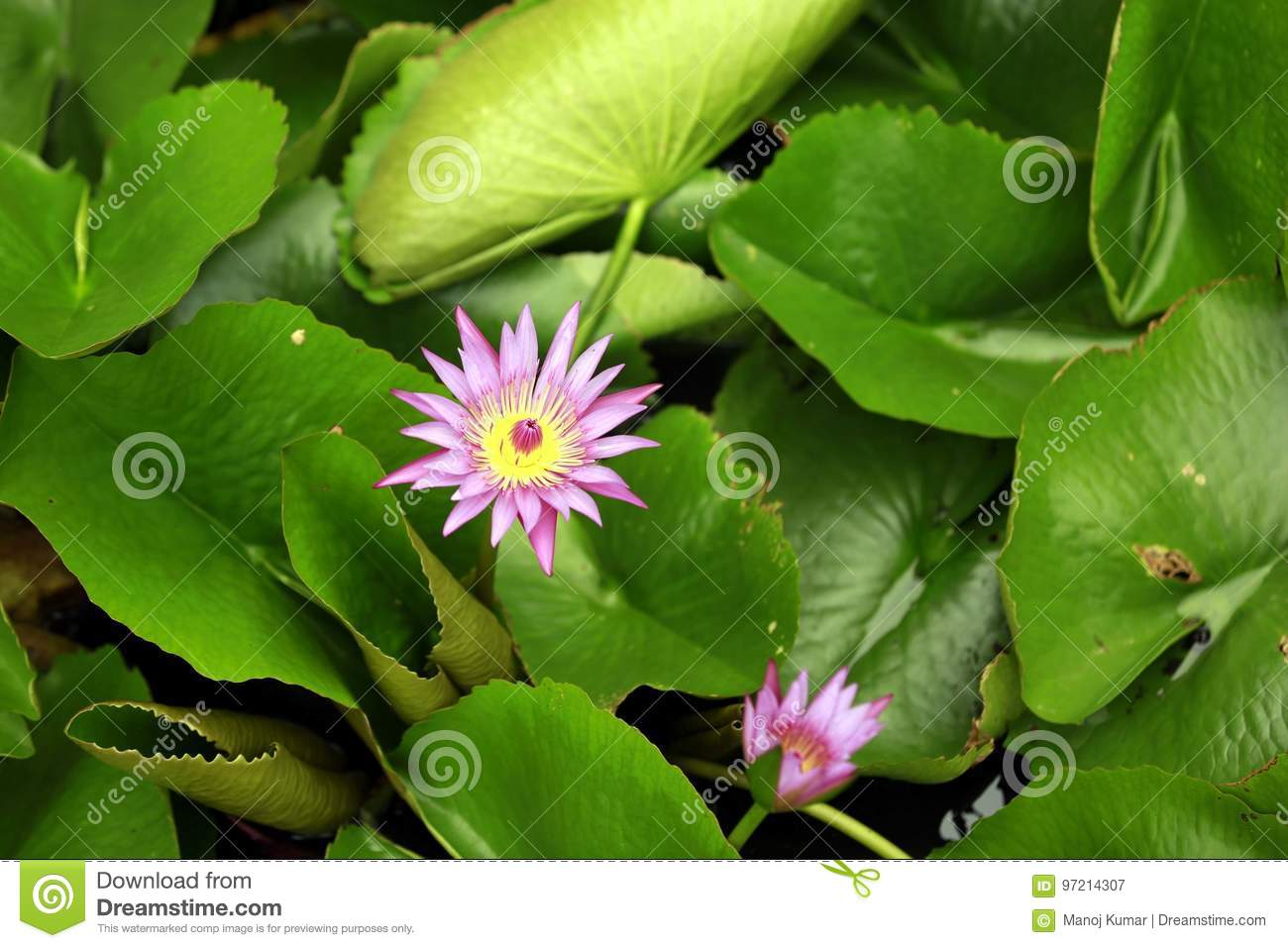 Lotus pink stock image  Image of mostly, leaves, lily - 97214307