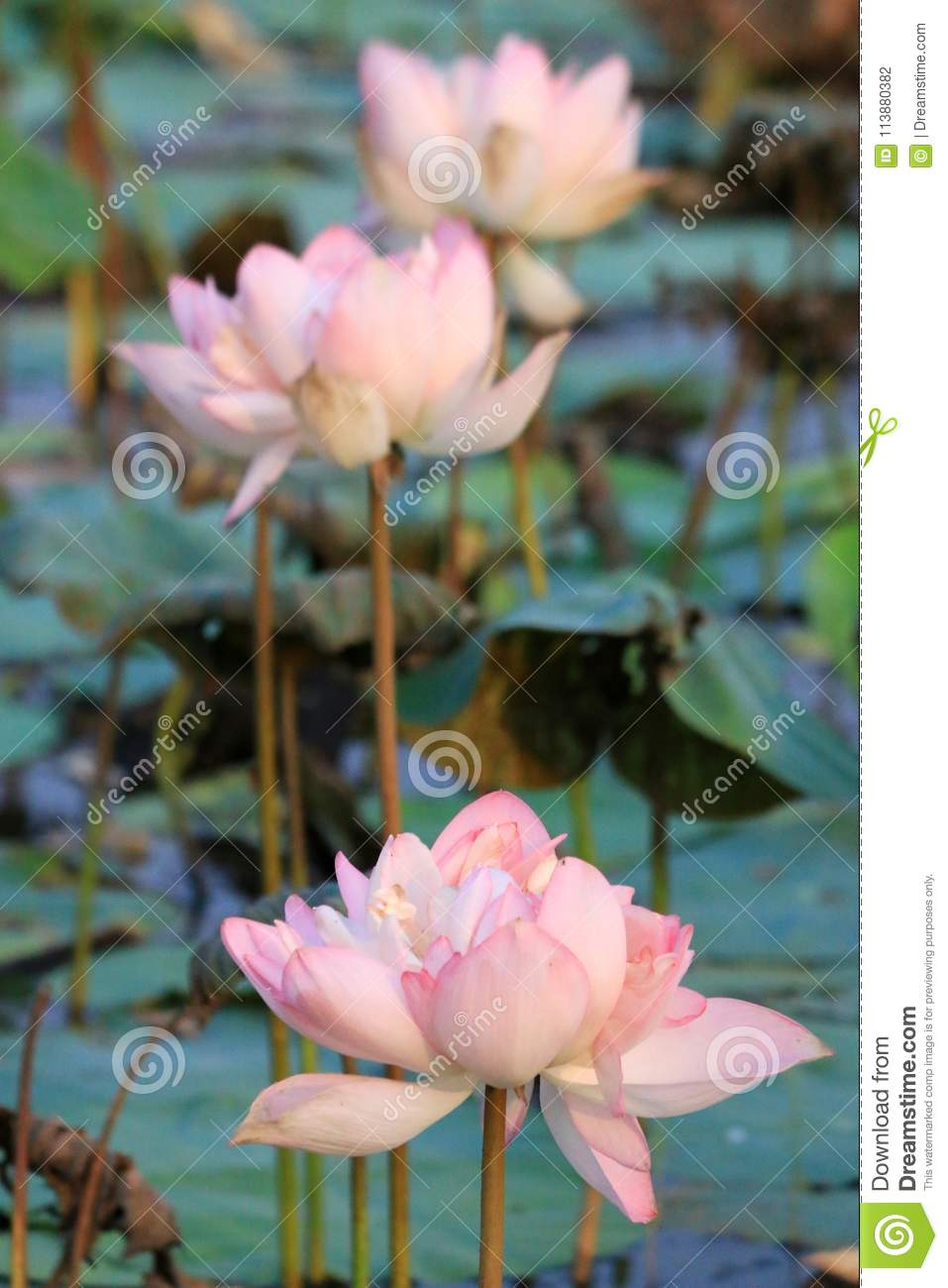 Lotus plant flowered in pond stock photo image of natural lotus three pink colored lotus flower in green pond in natural habitat mightylinksfo