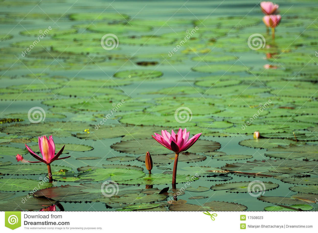 Lotus pond beauty stock photography for Pond dealers