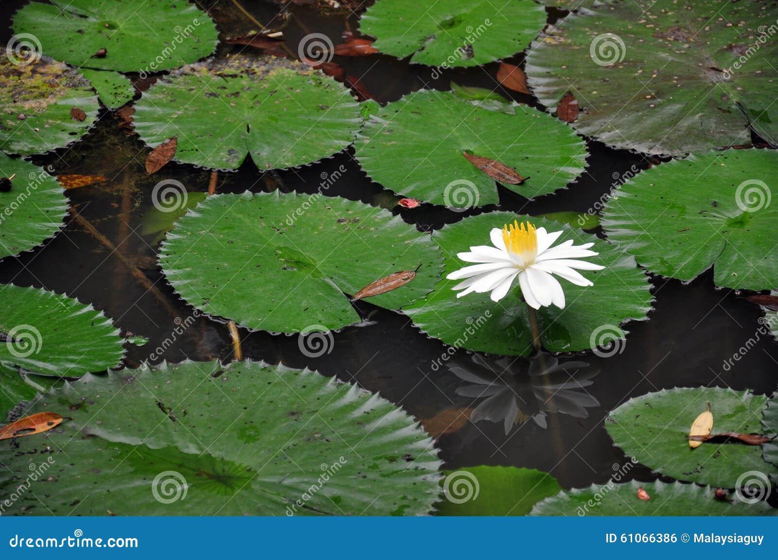 Lotus pond in kuala lumpur lake garden stock photo image for Garden pond design malaysia