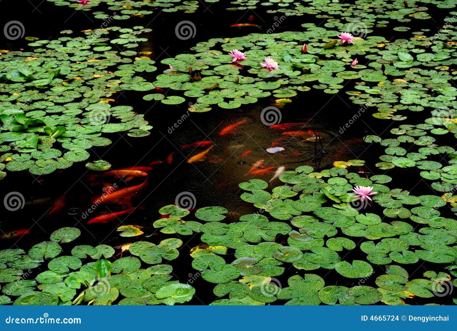 Lotus pond in the rain stock photo image of lily for Koi fish pond lotus