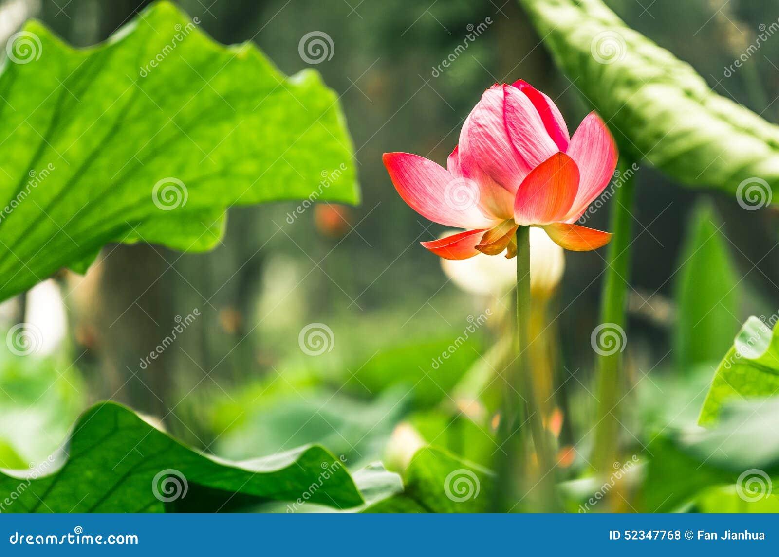 Lotus pond stock photo image of growth flourish flowers 52347768 royalty free stock photo izmirmasajfo