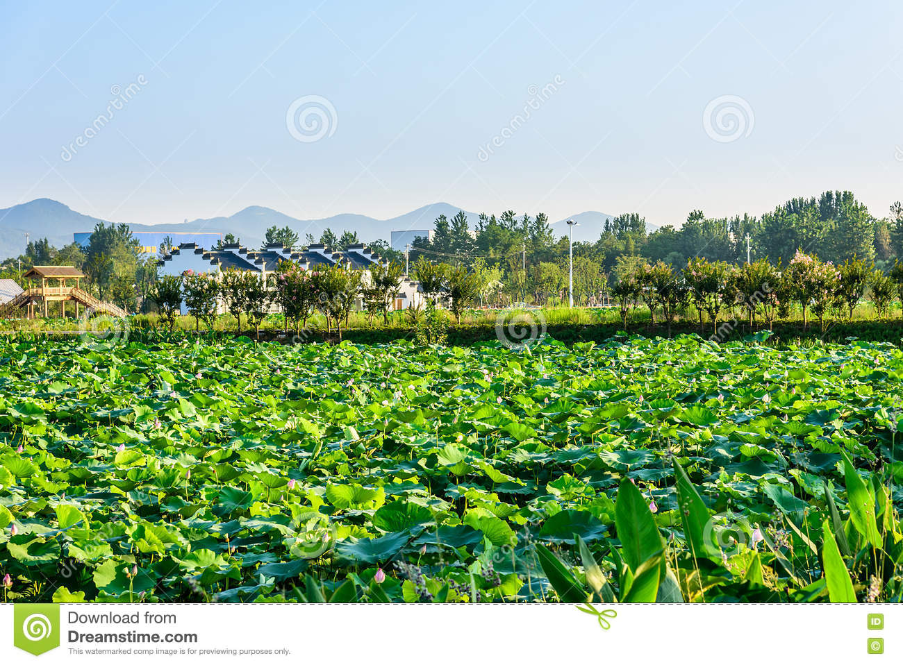 Lotus pond stock photography 90913904 for Pond dealers
