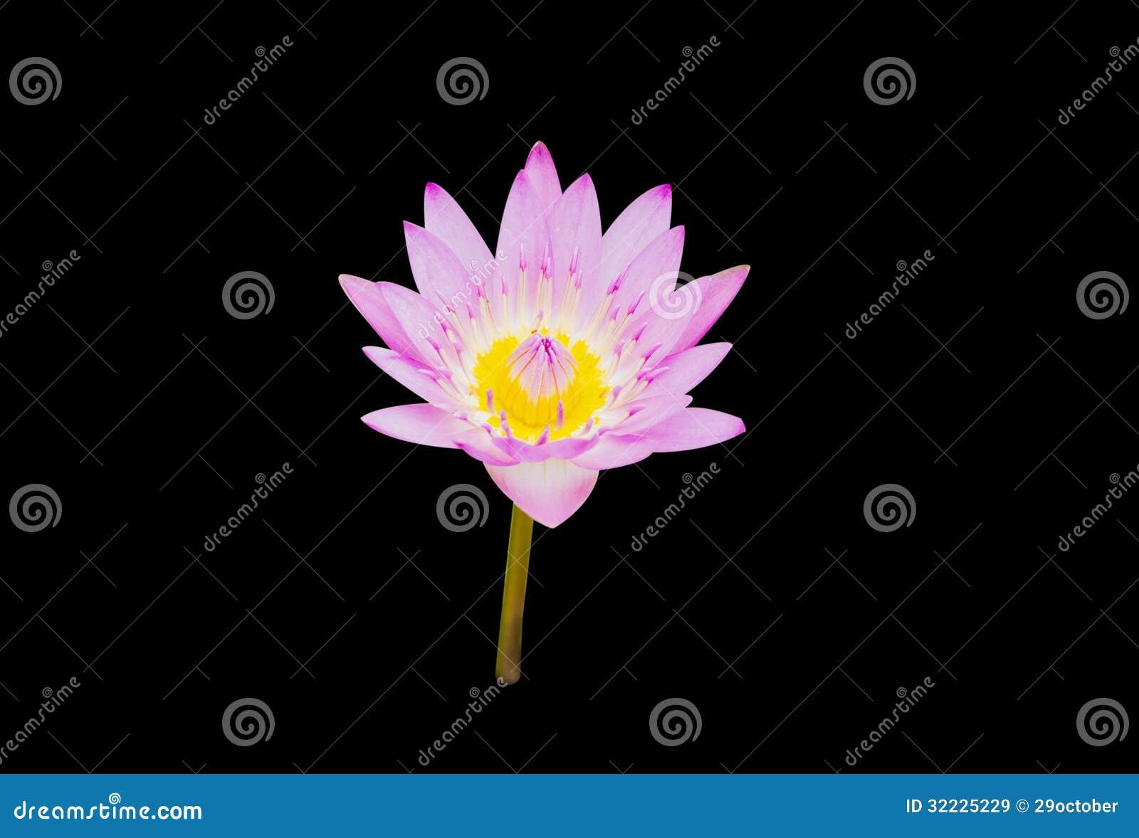 Download Lotus roxo imagem de stock. Imagem de beleza, ornament - 32225229