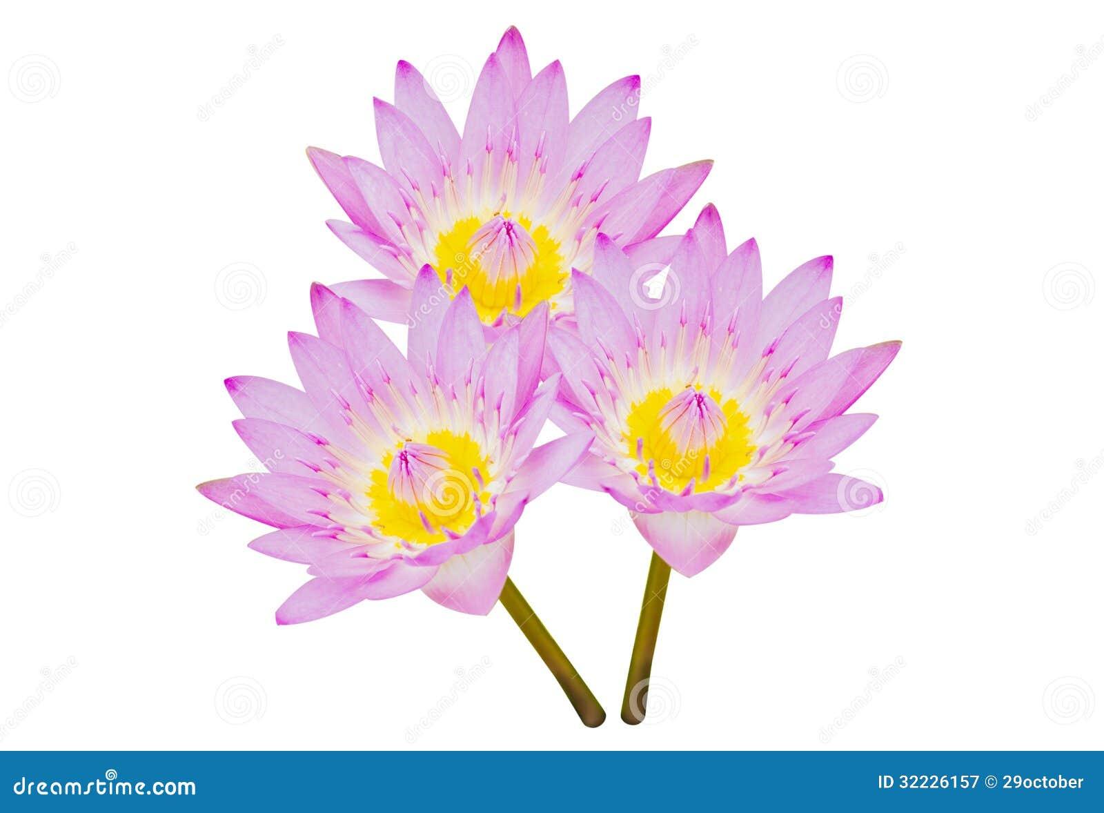 Download Lotus roxo imagem de stock. Imagem de sumário, bonito - 32226157