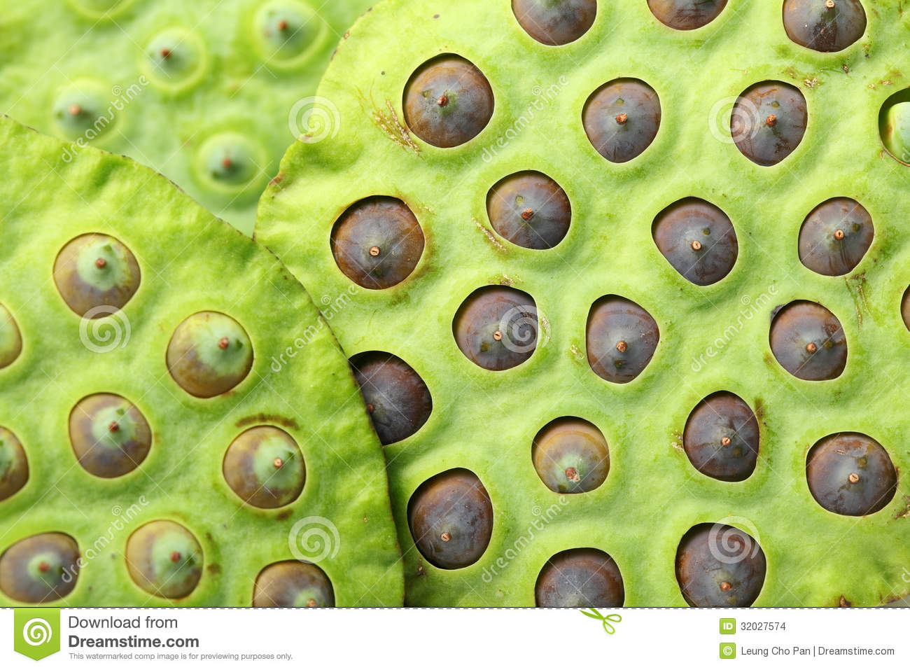 Lotus seed pod stock photo image of ingredient natural 32027574 lotus seed pod izmirmasajfo Image collections