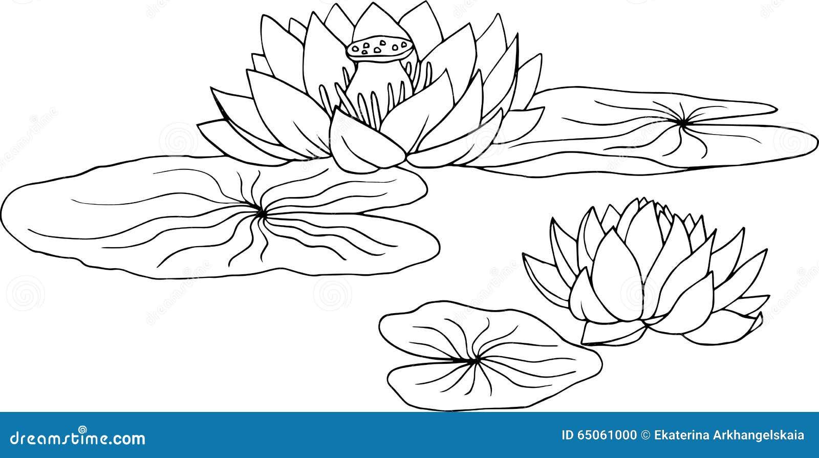 Kleurplaten Waterlelies.Waterlelie Kleurplaat Lotus Seerose Vektor Abbildung Bild 65061000