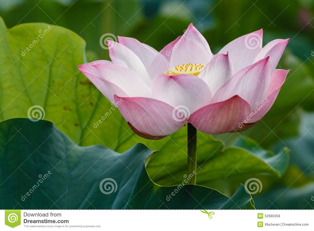 Lotus The Sense Of Enlightenment Stock Photo Image Of Decoration