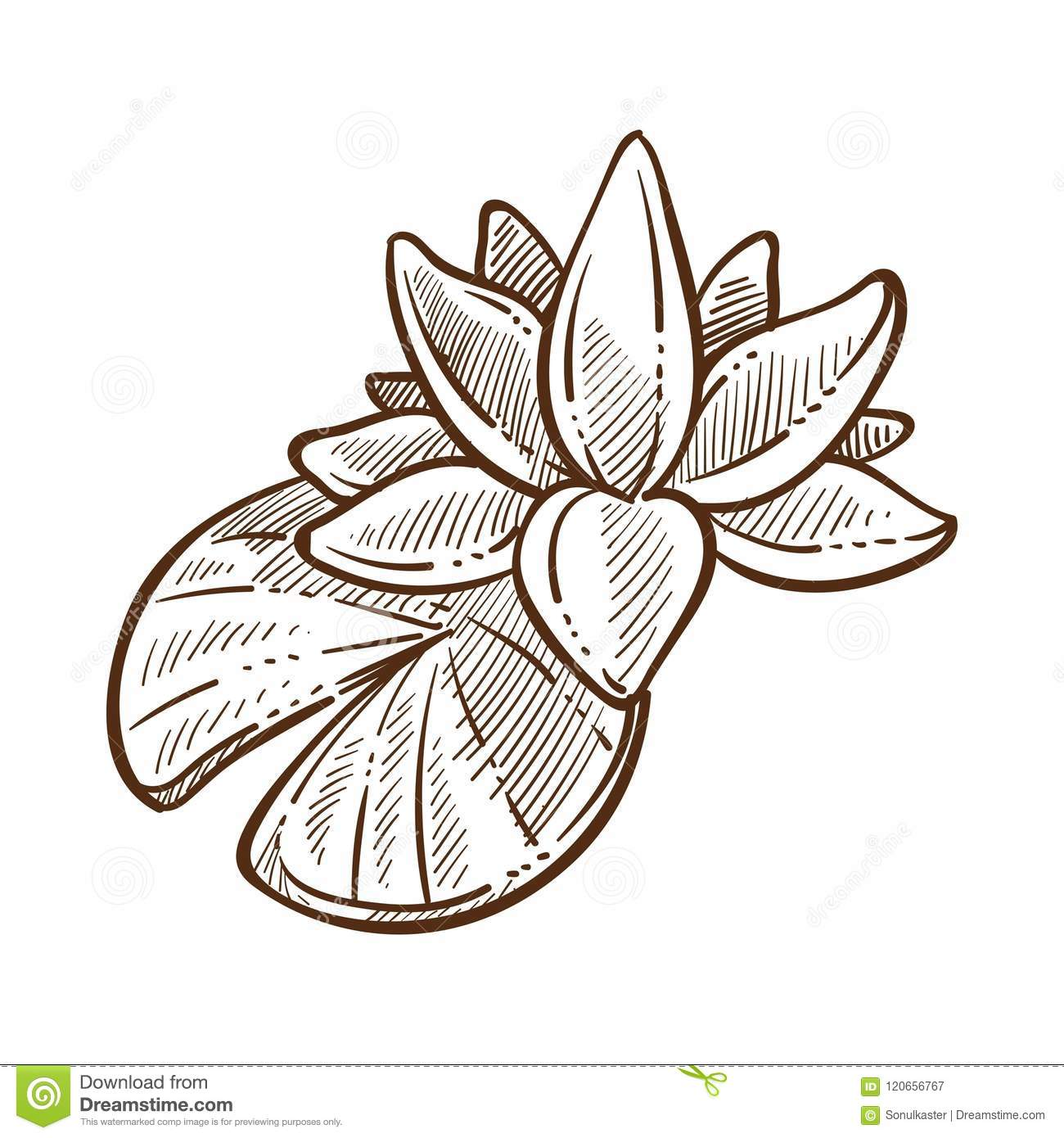 Lotus traditional symbolic flora of china monochrome sketch vector lotus traditional symbolic flora of china monochrome sketch vector illustration izmirmasajfo