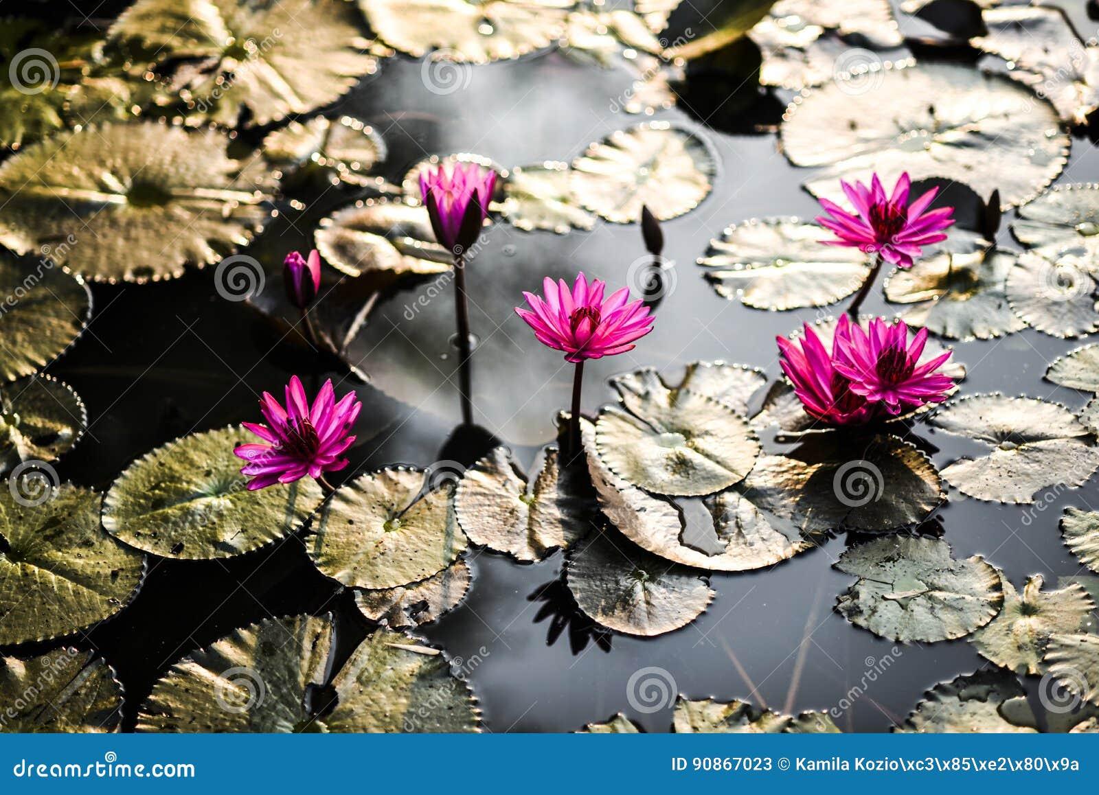 Lotus und waterlilies während des Sonnenuntergangs kambodscha