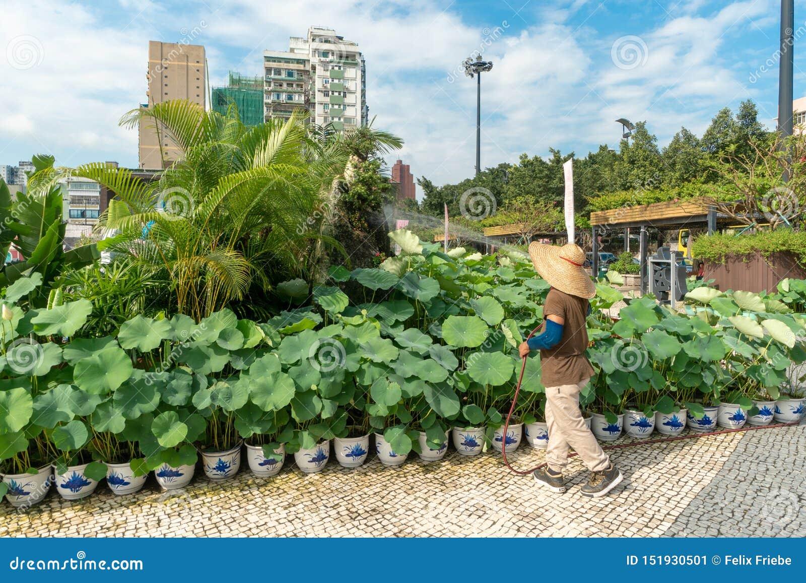 Lotus växter i mitten av Macao
