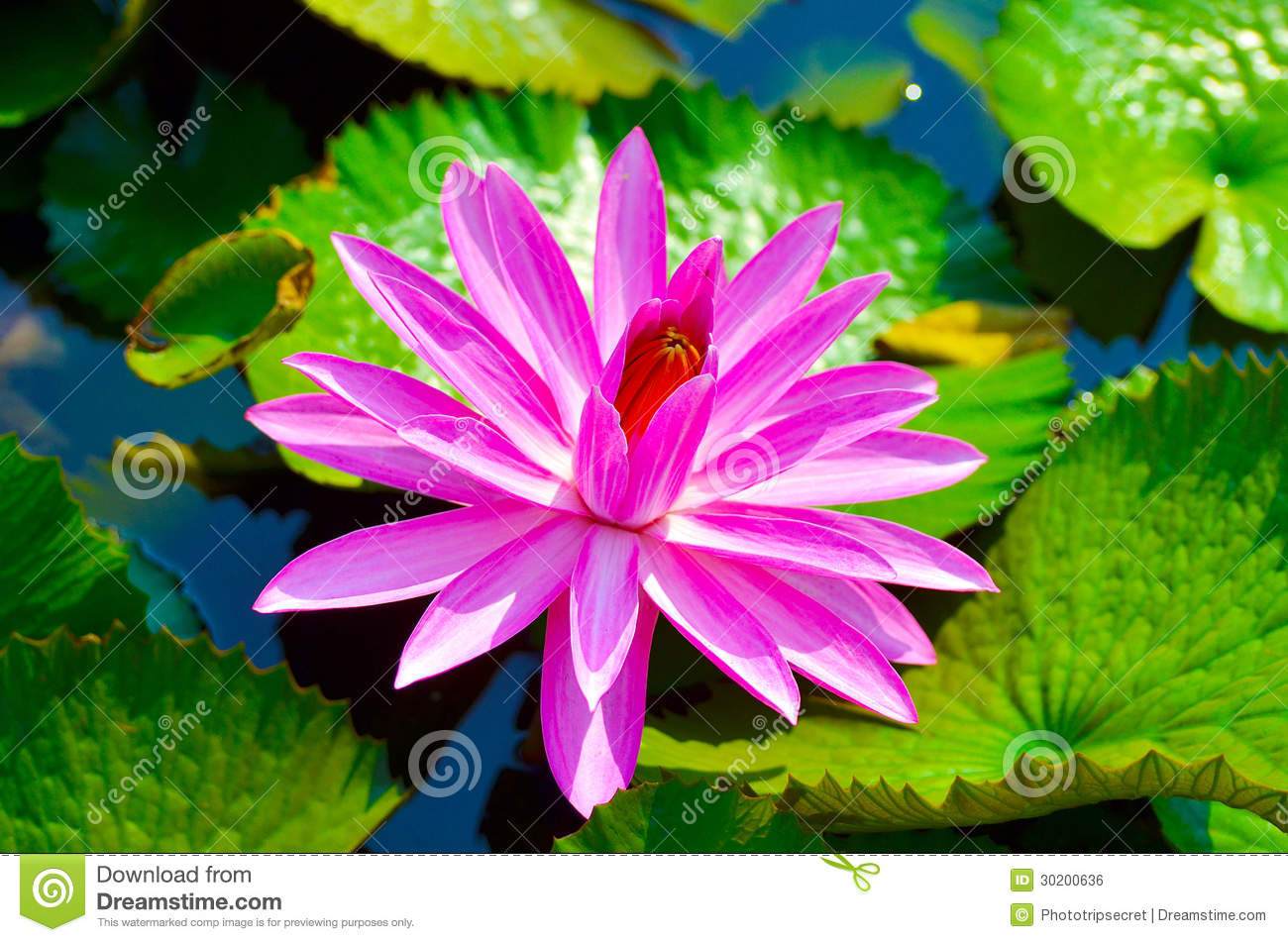 Floating Water Lily Royalty Free Stock Image - Image: 30200636
